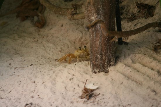 Hotel Cabanas Tulum : Ghost crab living next to light in front of our patio