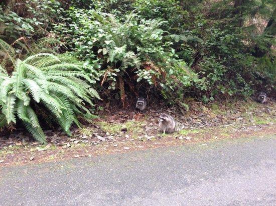Point Defiance Park : Spotting raccoons!
