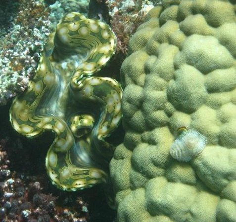 Qamea Resort And Spa Fiji : one of the unique tridacna clams on a dive