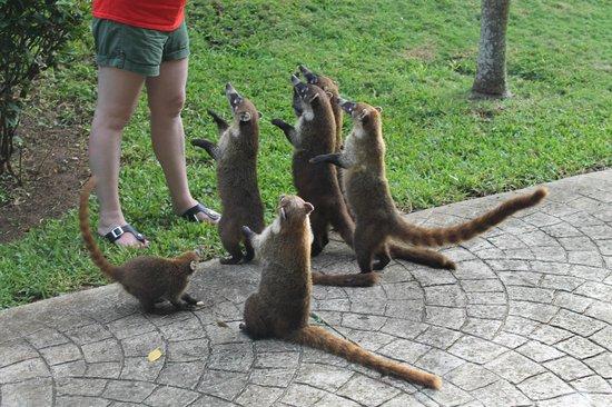 Feeding Coati Picture Of Secrets Capri Riviera Cancun