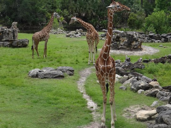 Brevard Zoo : Multiple giraffes