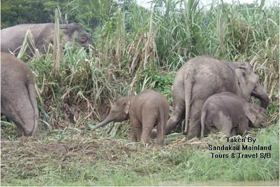 Borneo Pygmy elephant in Kinabatangan - Picture of ...