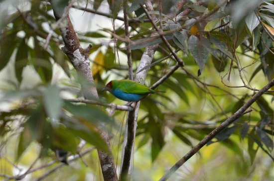 Tinamou Cottages: Bay-headed Tanager (seen from our veranda)
