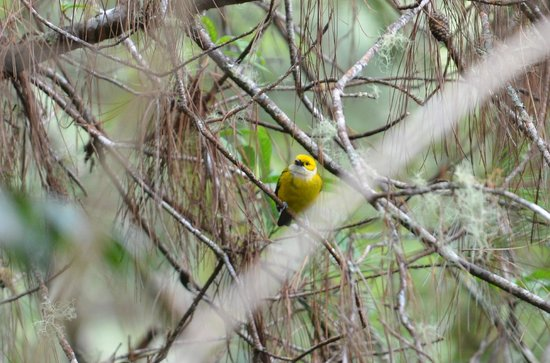 Tinamou Cottages: Silver-throated Tanager (seen from our veranda)