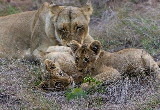 Sausage Tree Safari Camp: Limpy and her cubs