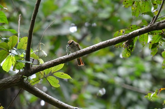 Metropolitan National Park: Streaked Flycatcher caught a prickly caterpiller