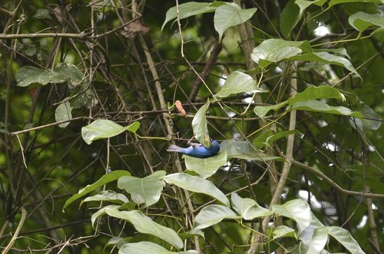 Metropolitan National Park: Blue Dacnis. When birds are lazy.