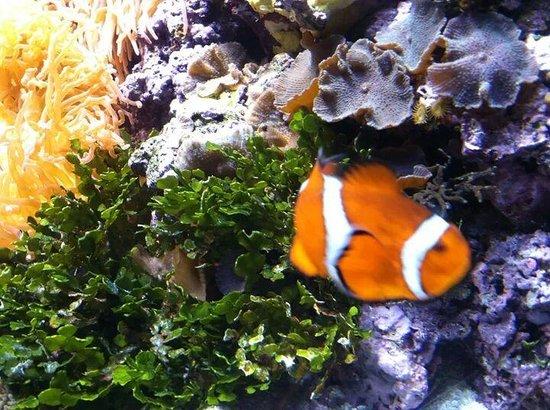 """Shedd Aquarium: """"nemo fish"""""""