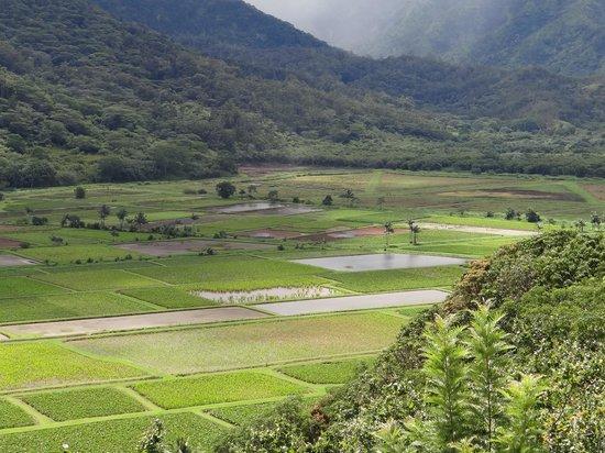 Hanalei Valley Lookout: Taro fields