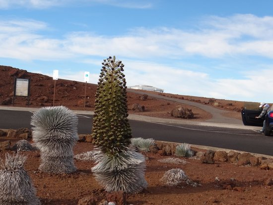 Haleakala Crater: An endangered plant at the top