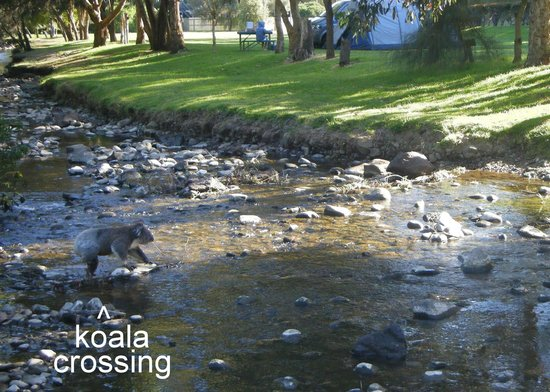 BIG4 Wye River Holiday Park: Koala at the creek