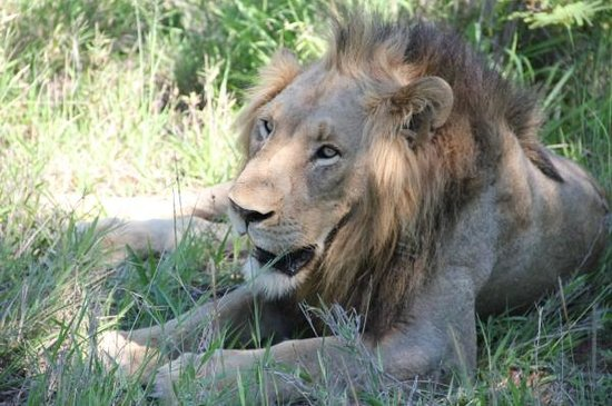 Balule River Camp : Lion in Thorny Bush