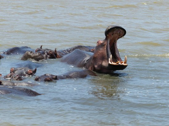 Elephant Coast Guest House: Hippos at St. Lucia