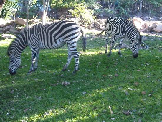 Lake Kariba, Zambia: Zebra grazing at Kariba Inn