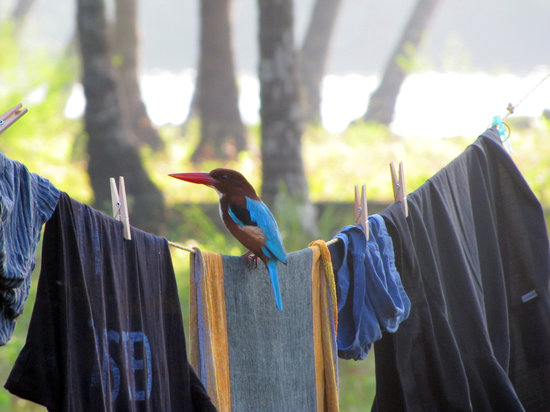 Kannur Beach House: The resident king fisher ( the other in the fridege !)