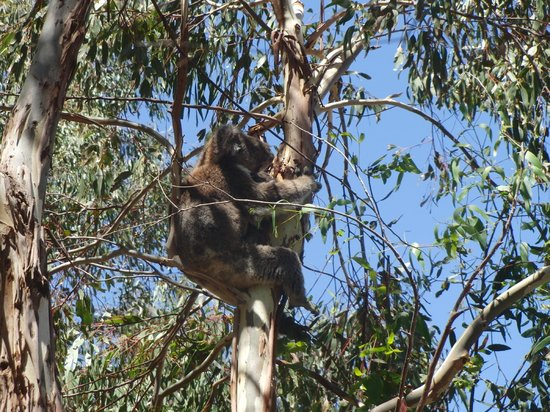 Hanson Bay Wildlife Sanctuary : Hanson Bay Koala