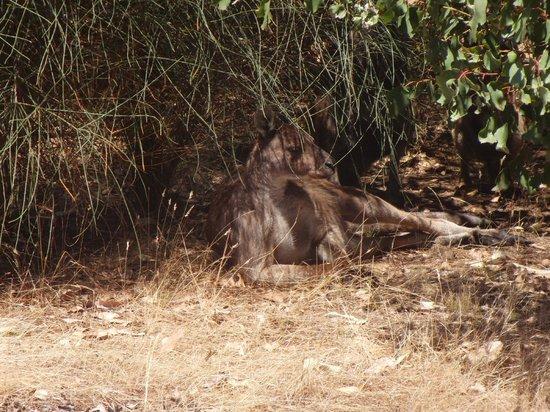 Hanson Bay Wildlife Sanctuary : 'Roo at Hansen Bay