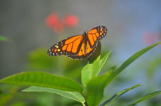 The Butterfly Farm (La Ferme des Papillons): Monarch
