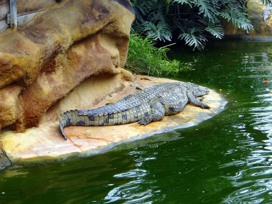 La Ferme aux Crocodiles : krokodil