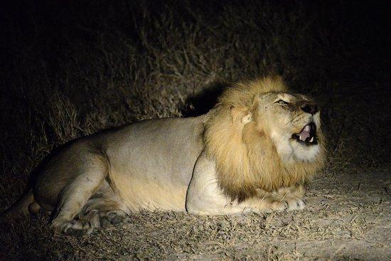 Arathusa Safari Lodge : Lion roaring right beside the vehicle