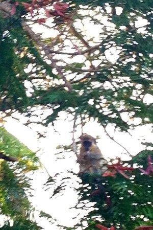 Bougainvillea Beach Resort: the mokey beside the tennis court