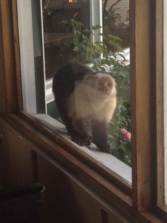 Monteverde Lodge & Gardens : White-faced monkeys at the window at Breakfast