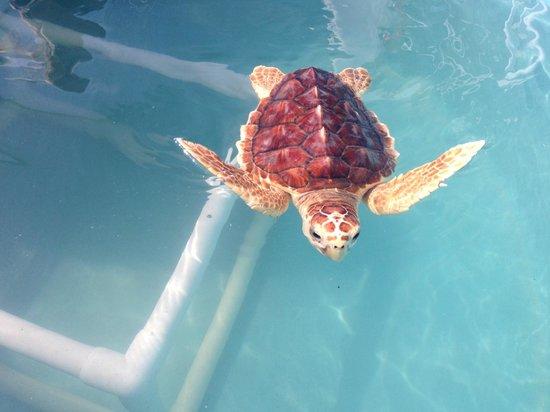 The Turtle Hospital: Cool little loggerhead