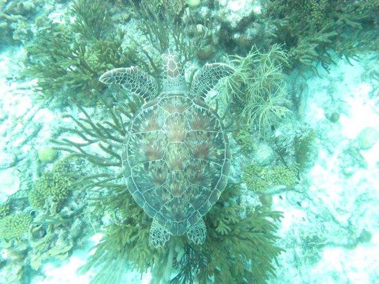 Buddy Dive: Tartaruga verde