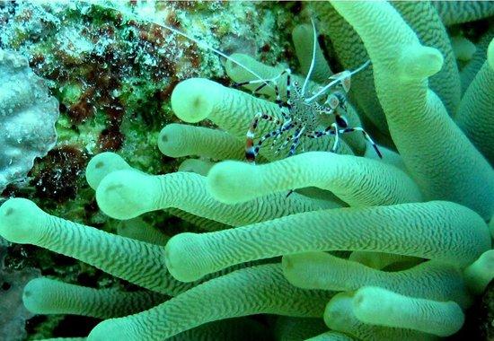 Buddy Dive: camarão palhaço