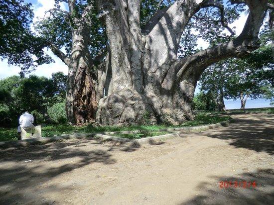 Le Jardin Maore: baobab plage