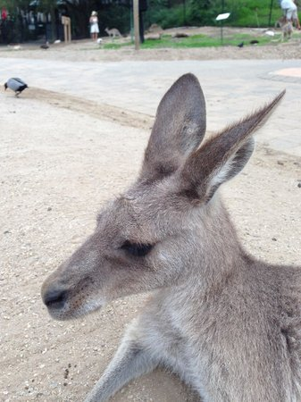 an introduction to the nature of kangaroos The intriguing kangaroo is the unofficial symbol of australia and can be found in the wild in many parts of victoria, including close to melbourne.