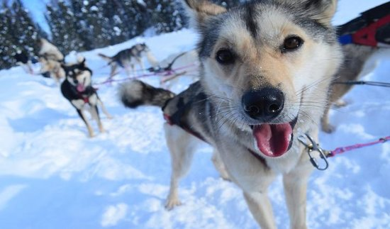 Alaska Sled Dog Tours