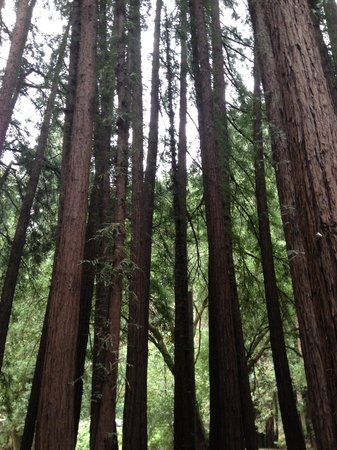 Blazing Saddles Bike Rentals and Tours: Redwoods at Old Mill Park