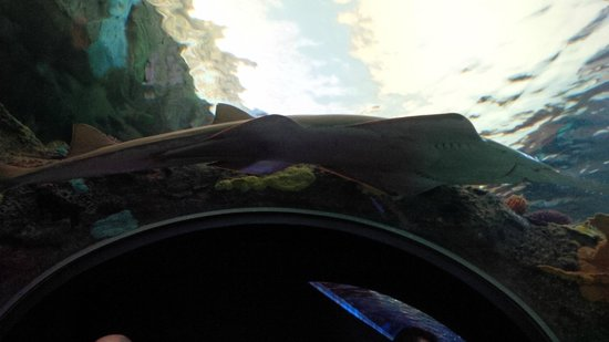 Ripley's Aquarium Of Canada: Jawfish sprawled out on the ceiling of the tank