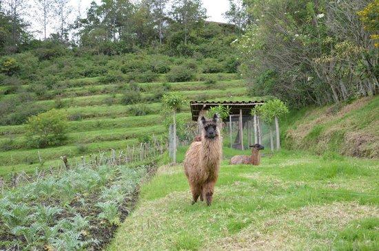 Casa Mojanda: Friendly llamas