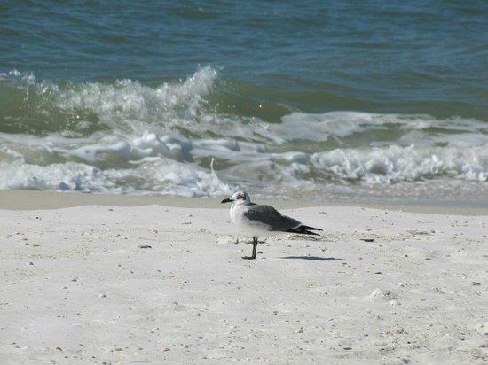 Osprey on the Gulf: birds on the beach