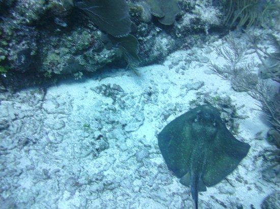 Sea Sports Belize : Sting ray