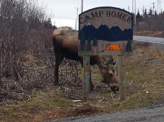 Camp Homer: Moose finding some early Spring food!
