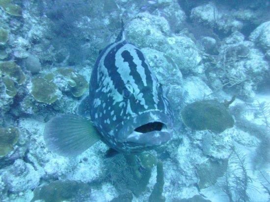 Grand Turk Diving : Large grouper