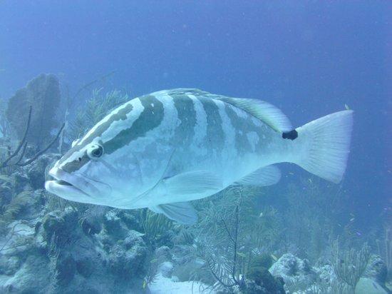 Grand Turk Diving : Grouper