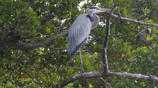 Native Guides Sanibel-Captiva Charter services : An egret