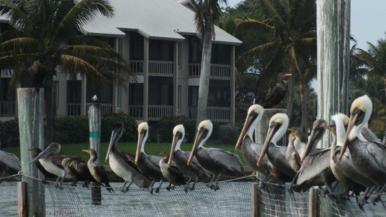 Native Guides Sanibel-Captiva Charter services : Line up of pelicans