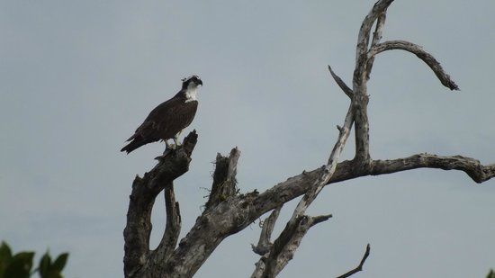 Native Guides Sanibel-Captiva Charter services: On its perch