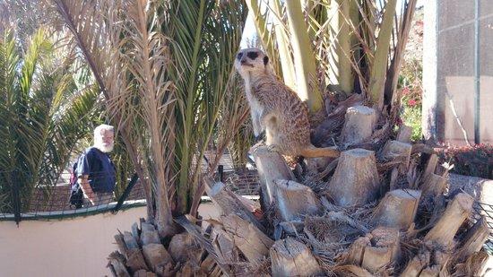 Guinate Tropical Park: Erdmännchen