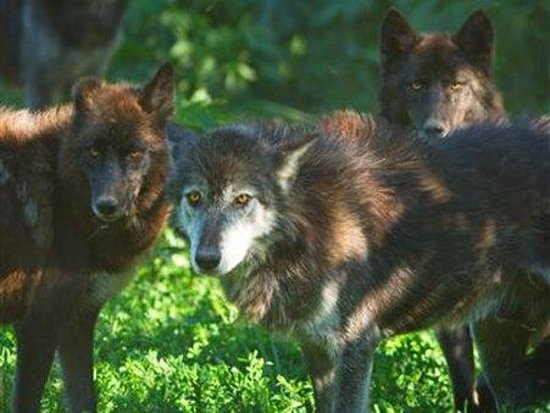 Speedwell Forge B&B : Wolf Sanctuary of PA