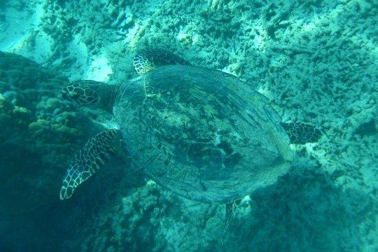Manta Dive Gili Air Resort: Turtle