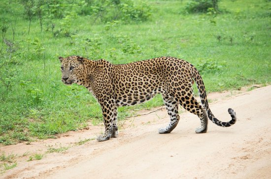 Gem River Edge - Eco Home and Safari: Leopard sighting in Yala!