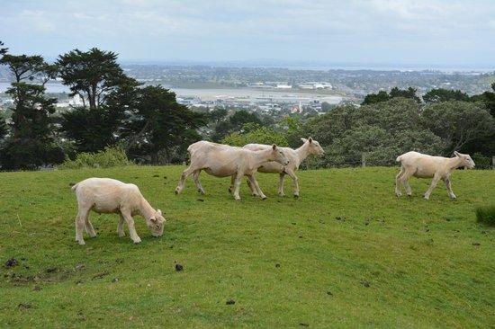 One Tree Hill (Maungakiekie): White sheeps everywhere
