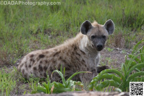 Jock Safari Lodge : Young male hyena