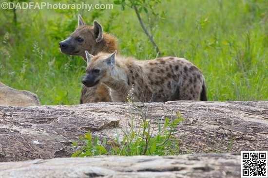 Jock Safari Lodge : Hyena greetings